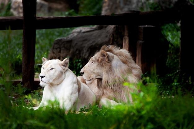 O leão branco, leão descorado. Foto Premium