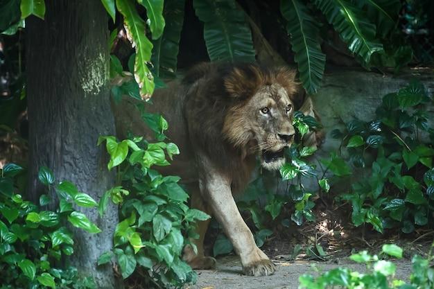 O leão está se concentrando em algo sério.