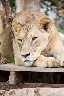 O leão no zoológico