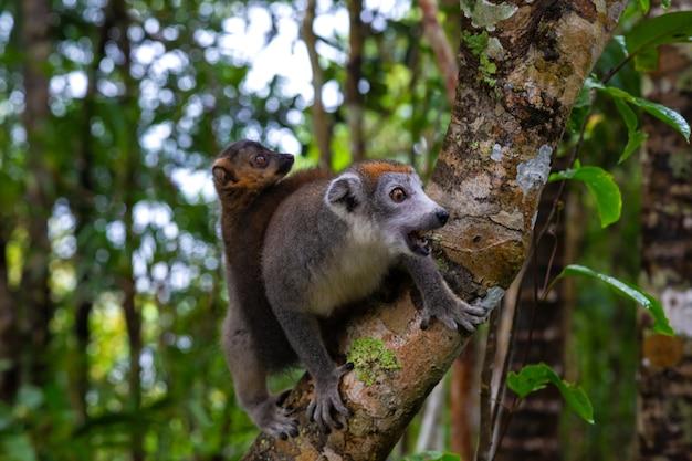 O lêmure da coroa em uma árvore na floresta tropical de madagascar