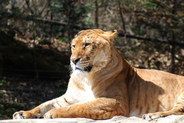 O liger é um cruzamento entre um leão macho e uma tigresa, ou tigre fêmea.