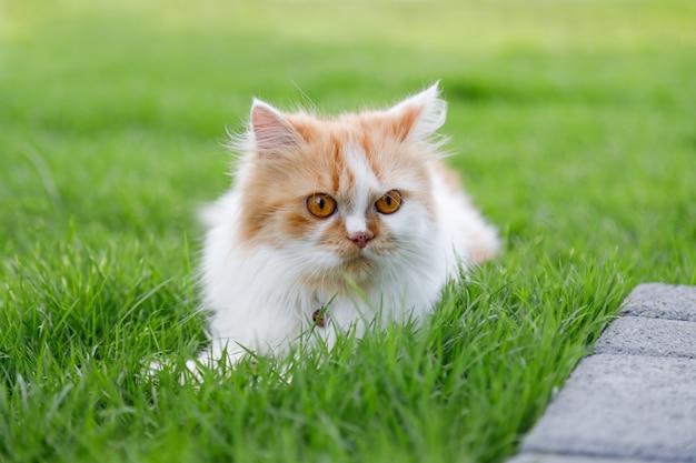 O lindo gato persa está sentado em um campo de grama verde