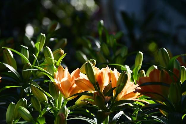 O lírio alaranjado floresce com luz da luz do sol no jardim.