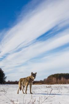 O lobo cinzento correu para o campo e olhou para nós