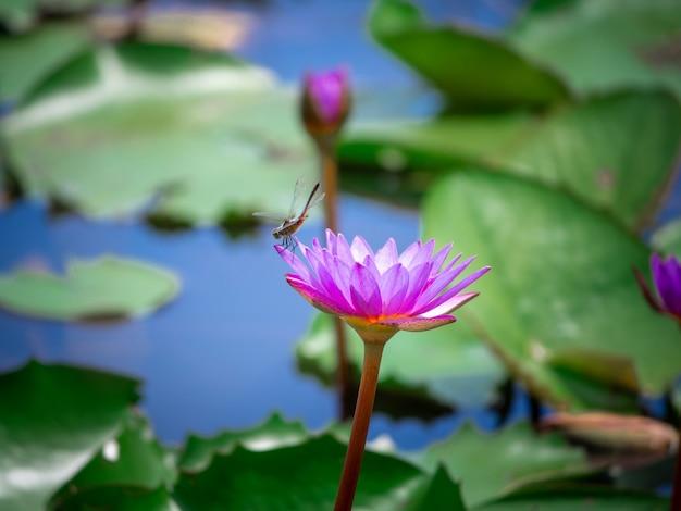 O lótus rosa que está acima da água na lagoa