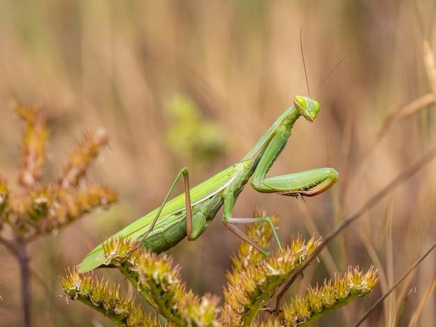 O louva-a-deus verde no mato