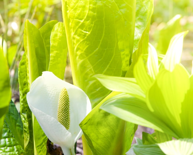 O lysichiton de kamchatka, lysichiton camtschatcensis, durante a floração