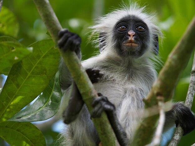 O macaco colobus vermelho na floresta de jozani