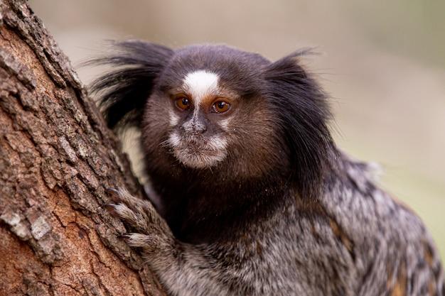 O macaco estrela sagui de topete preto ou simplesmente sagui é uma espécie de macaco