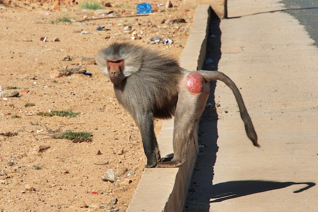 O macaco na região de asir