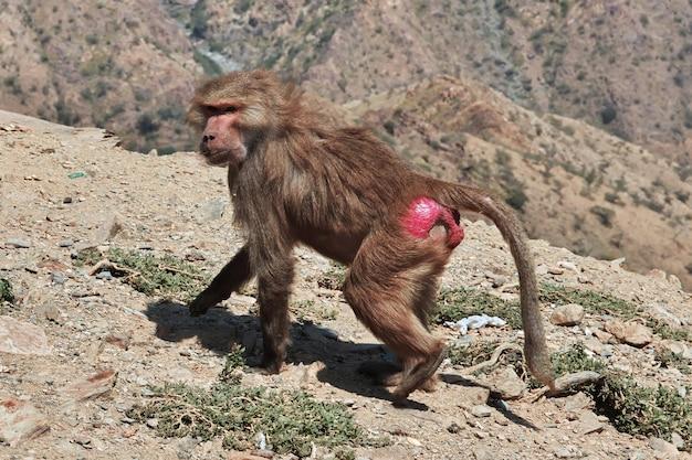 O macaco nas montanhas da arábia saudita