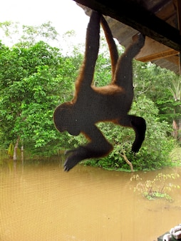 O macaco no rio amazonas, peru, américa do sul