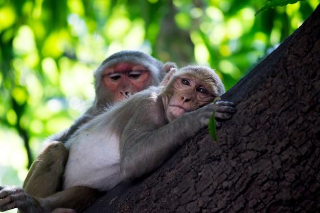 O macaco rhesus dormindo no tronco da árvore