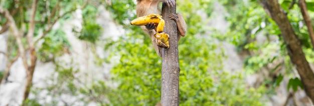 O macaco senta e come banana. exterior