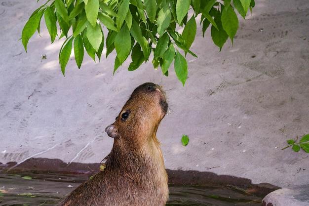 O maior roedor capivara come folhagem verde de uma árvore