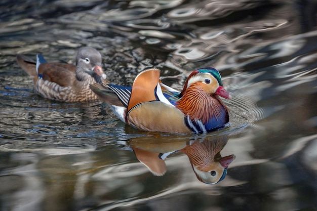 O mandarino masculino e fêmea ducks na água do lago.