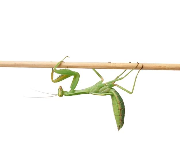O mantis verde sentado em uma vara de madeira