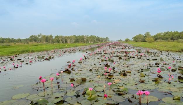 O mar de lótus vermelho ou lírio d'água no pantanal talay-noi, tailândia