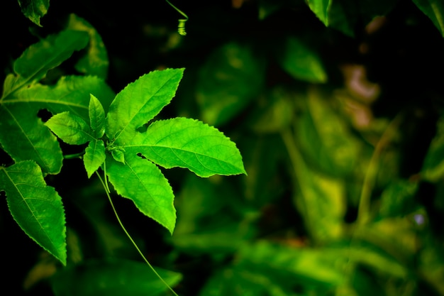O maracujá verde sae na natureza.