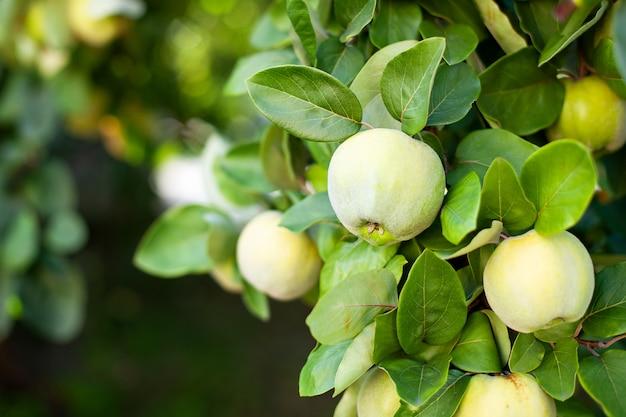 O marmelo cresce na árvore em um jardim orgânico. conceito de colheita. vitaminas, vegetarianismo, frutas. marmelos. copie o espaço. frutos maduros de marmelo crescem em uma árvore de marmelo com folhagem verde no final do outono. árvore de maçã
