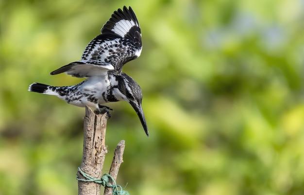 O martim-pescador malhado empoleira-se no galho e batendo as asas
