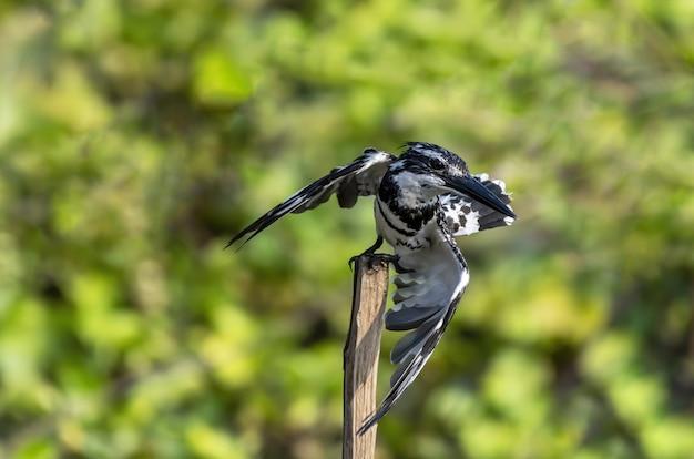 O martim-pescador malhado empoleirando-se no galho de uma árvore