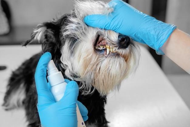 O médico examina os dentes de um cão, tártaro de cão, doença dentária em um cão,