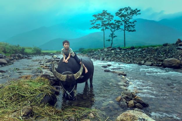 O menino está montando um búfalo.