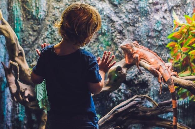 O menino olha para caiman lizard dracaena guianensis, um grande réptil verde e vermelho nativo da américa do sul.