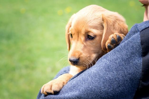 O menino segura nas mãos um pequeno cão de raça de cocker spaniel em tempo ensolarado