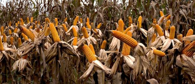 O milho amarelo seco está pronto para os agricultores colherem na fazenda.