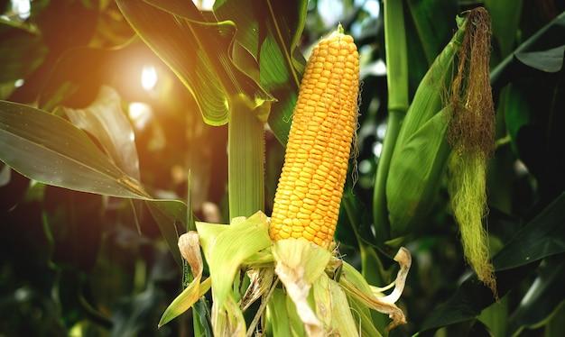 O milho é verde-claro no campo de milho.