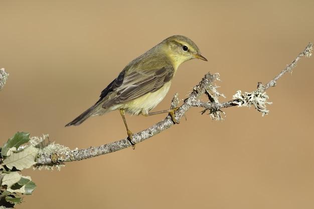 O mockingbird marrom do norte empoleirado em um galho com um fundo desfocado