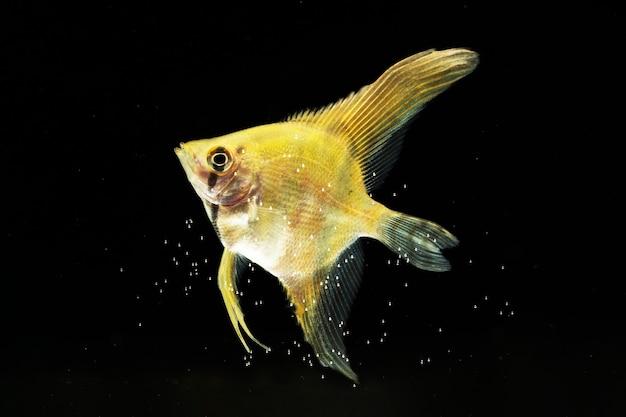 O momento em movimento do peixe betta siamês amarelo de meia-lua