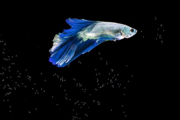 O momento em movimento do peixe betta siamês azul meia-lua