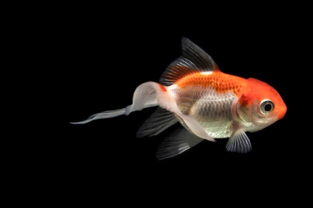 O momento em movimento do peixe betta siamês laranja meia-lua