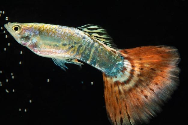 O momento em movimento do peixe betta siamês marrom e cinza meia-lua