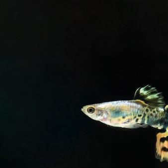 O momento em movimento do peixe betta siamês meia-lua com espaço de cópia