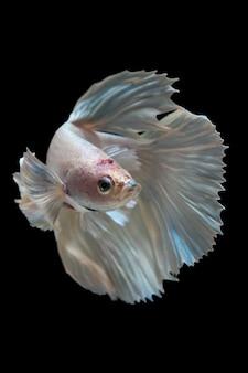O momento emocionante bonito do peixe betta no preto
