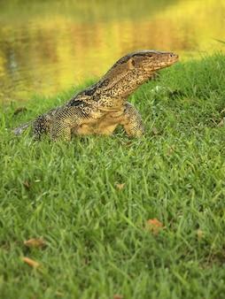 O monitor de água, (varanus salvator) as grandes espécies de lagarto monitor