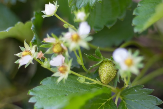 O morangueiro tem flores brancas e frutos pequenos no jardim