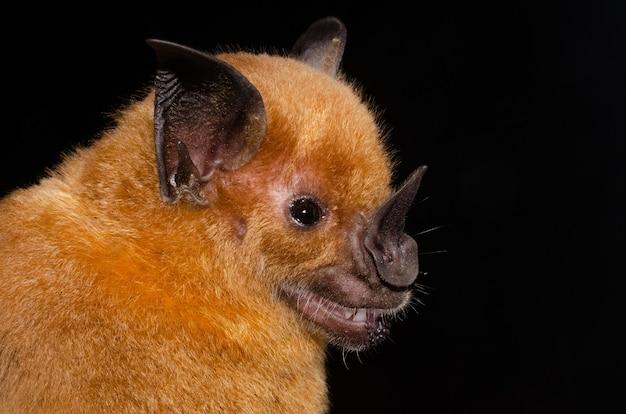 O morcego de ponta de lança maior é um dos maiores morcegos desta região