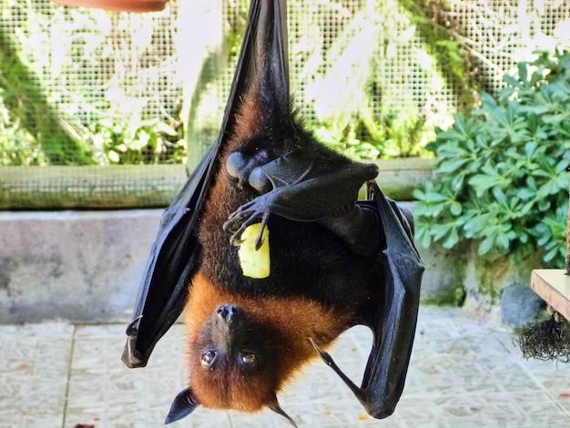 O morcego está pendurado. zoo em tel aviv.
