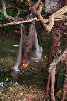 O morcego na floresta de macacos, zoológico de bali, indonésia
