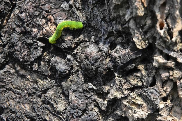 O movimento de desaceleração de uma lagarta verde sobre a casca de madeira