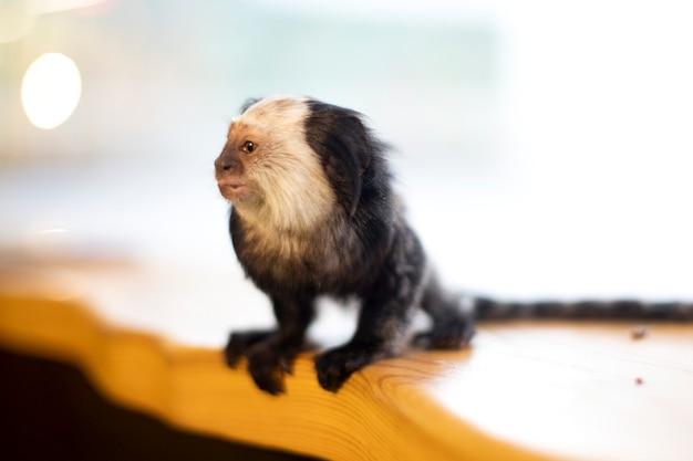 O mundo animal é uma família de primatas. macaco pequeno sobre um fundo claro. mico-macaco.
