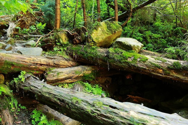 O musgo cobria rochas e árvores caídas, um bosque antigo. árvores caídas na floresta coberta de musgo