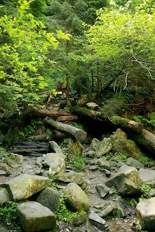 O musgo cobriu rochas e árvores caídas uma floresta antiga