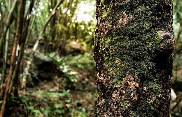 O musgo cresce pesadamente na casca desta árvore no fundo da floresta tropical