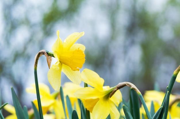 O narciso amarelo amarelo (narciso) que floresce no jardim.